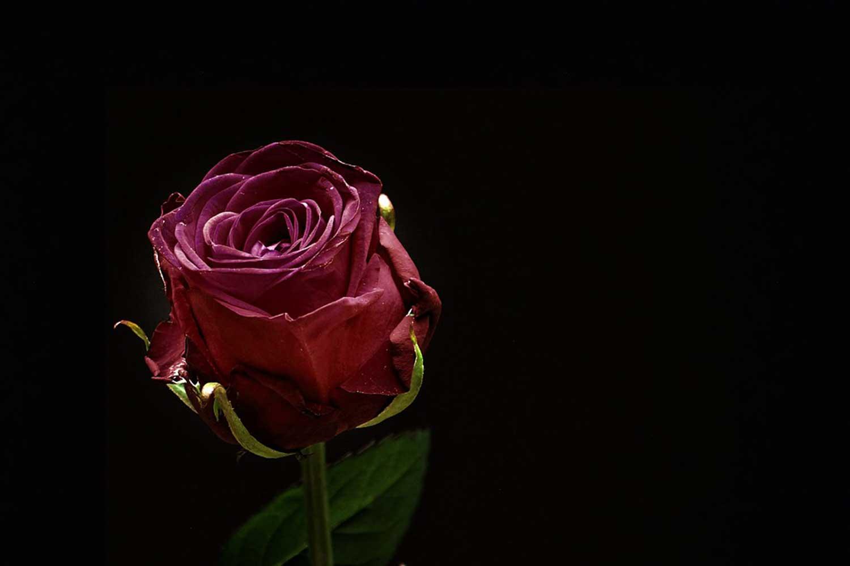 Trauer Rose Pixabay